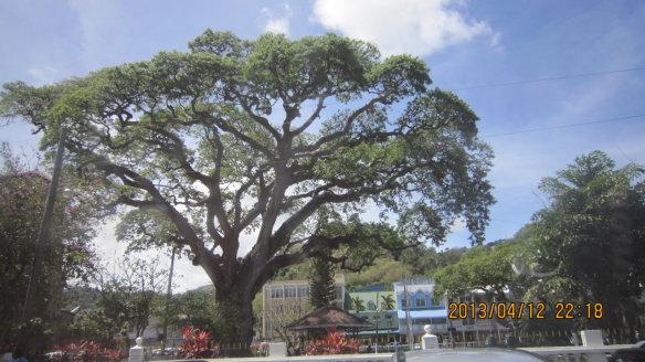 马萨维古树